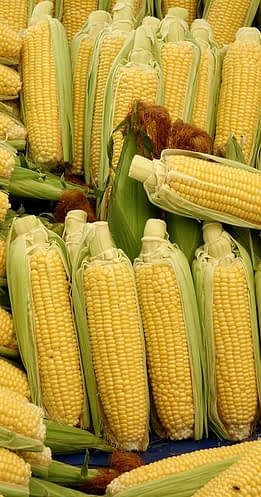 свежую кукурузу можно хранить долгое время