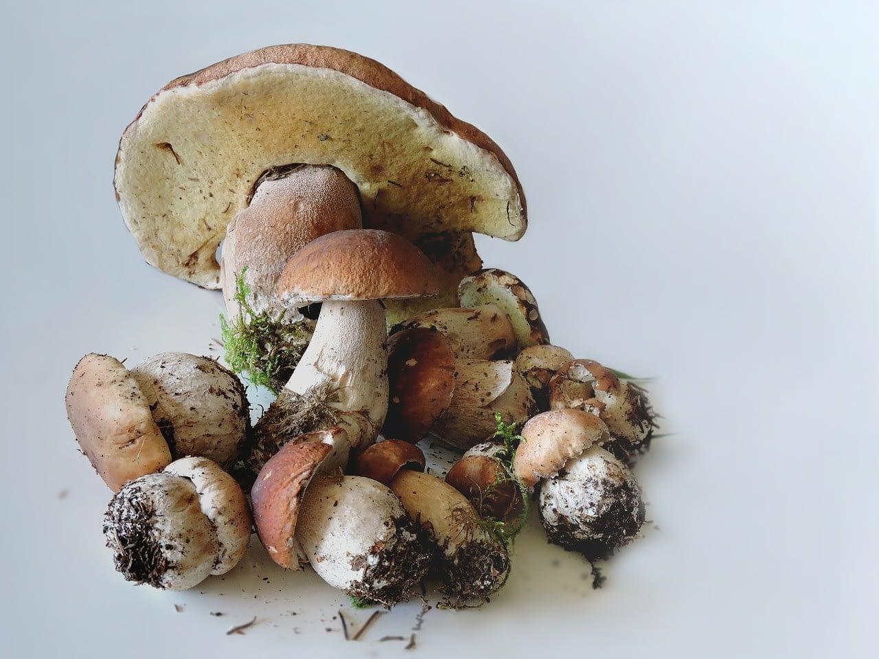 белые грибы относятся к боровикам