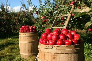 яблоки важно правильно собрать
